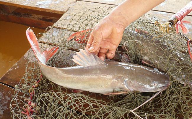 Giá cá lăng xuống quá thấp, người nuôi buộc phải 'găm hàng'