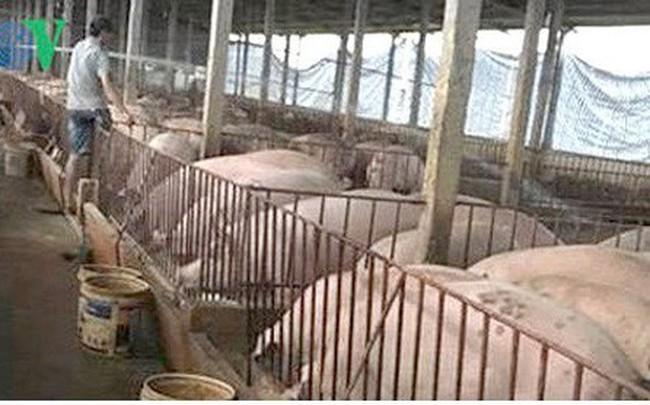 Giá heo tăng, người chăn nuôi ở Đông Nam bộ vừa mừng vừa lo