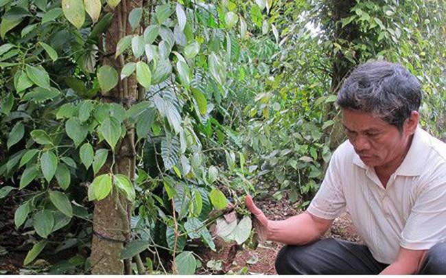 Nạn phá hoại hồ tiêu ở Đắk Lắk khiến nông dân điêu đứng
