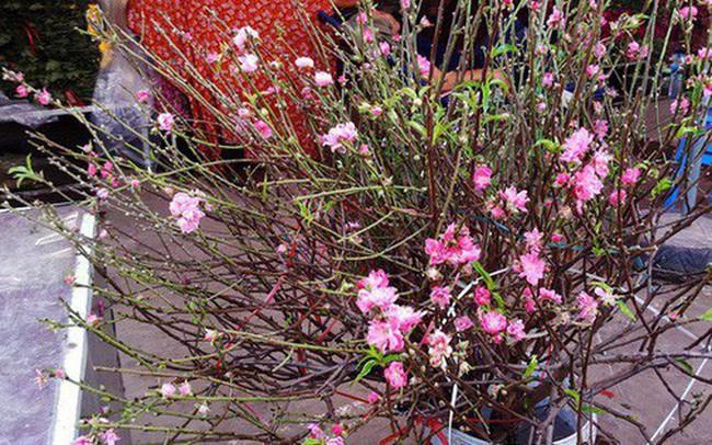 Chuyện lạ: Hoa đào bất ngờ bung nở rầm rộ, giá 200.000 đồng/cành