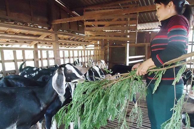 Bình Phước: Thịt dê giảm giá, hộ nuôi lao đao
