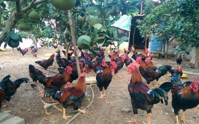 nuôi gà ta thả vườn