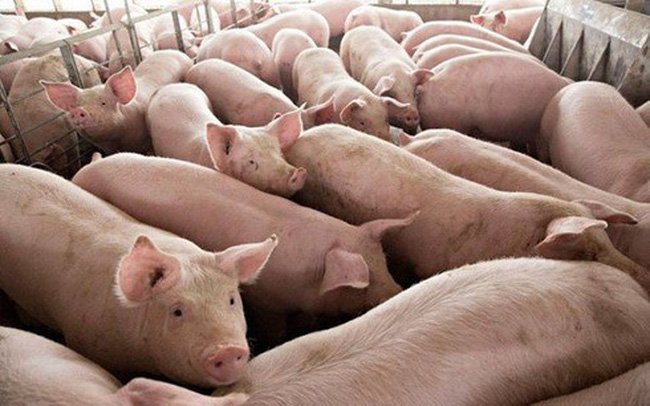 Giá lợn hơi tăng vùn vụt, mới bằng nửa Trung Quốc, Cục trưởng khuyên ăn thịt khác