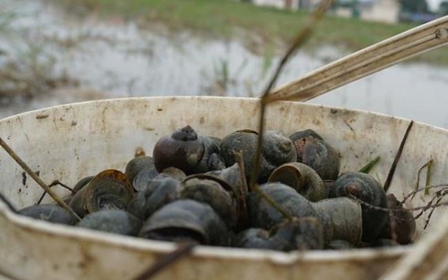Hà Tĩnh: Thương lái thu mua hàng chục tấn ốc bươu vàng