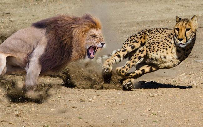 Sư tử dũng mãnh tuyệt đối không so sánh, bất mãn hay thương hại, muốn thành công bạn phải học cách luyện những guồng chân chạy không nghỉ ngơi