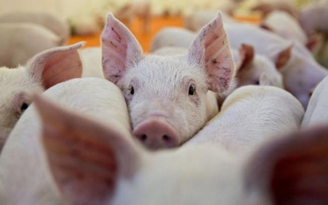 Thủ tướng chỉ đạo cấp bách khống chế dịch tả lợn châu Phi