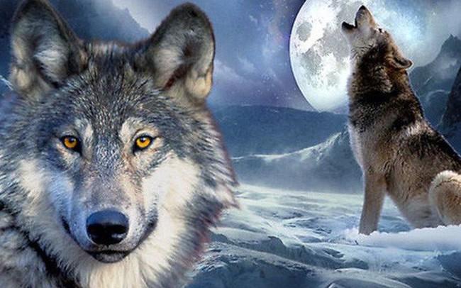 Muốn bản lĩnh HƠN người thì nhất định phải học cách KHÁC người, đừng ngại biến bản thân thành sói: Hung dữ nhưng trung thành, liều lĩnh nhưng khôn ngoan!