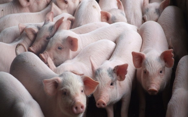 """Dịch tả lợn Châu Phi: Cơ hội hay thách thức cho các """"ông lớn"""" ngành chăn nuôi lợn?"""