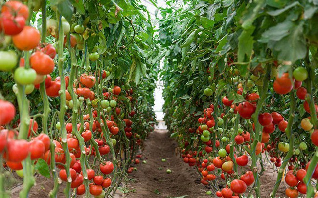 Trồng cà chua trên sa mạc với trang trại thông minh, con người sắp ăn uống theo những cách ngoài sức tưởng tượng