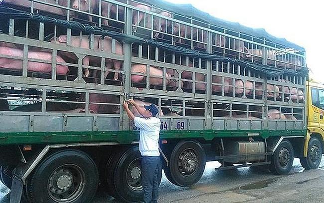 Tăng cường phòng, chống dịch tả lợn Châu Phi tại các đầu mối giao thông