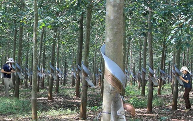 Tập đoàn Cao su Việt Nam (GVR) quyết định chuyển sang niêm yết trên HoSE