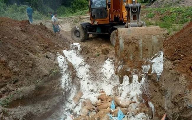 Tiêu hủy hơn 9,5 tấn lợn dương tính với dịch tả lợn châu Phi