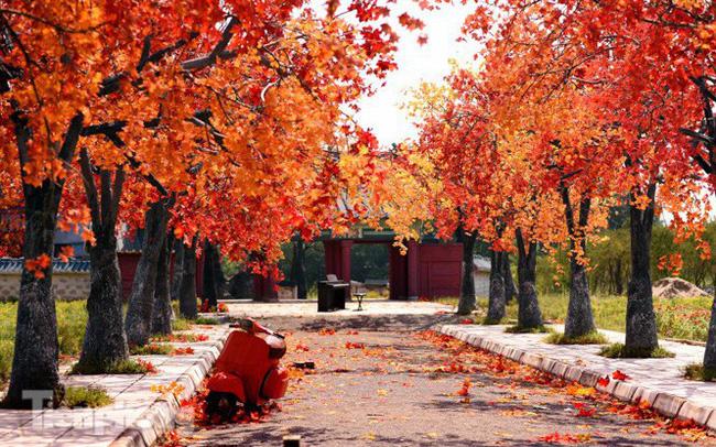 Ngỡ ngàng với con đường phong lá đỏ ở Hà Nội