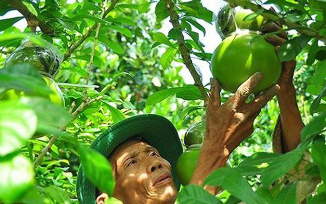Ngắm vườn đào tiên trăm triệu của lão nông Hậu Giang