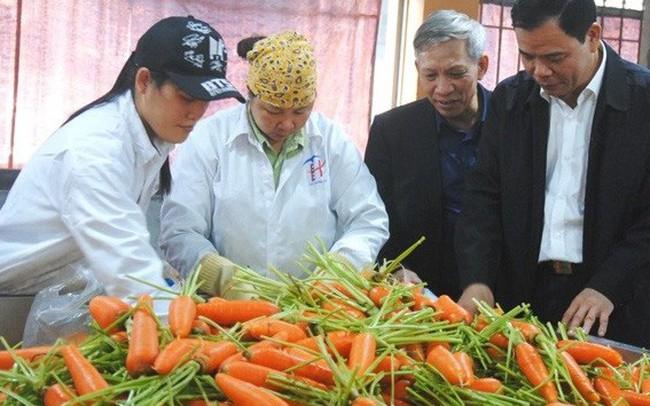 """Hỗ trợ nông dân Hải Dương thoát cảnh cà rốt """"được mùa mất giá"""""""