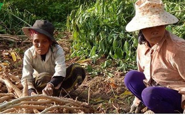 Phú Yên: Tăng cường khâu chế biến sắn để gia tăng giá trị