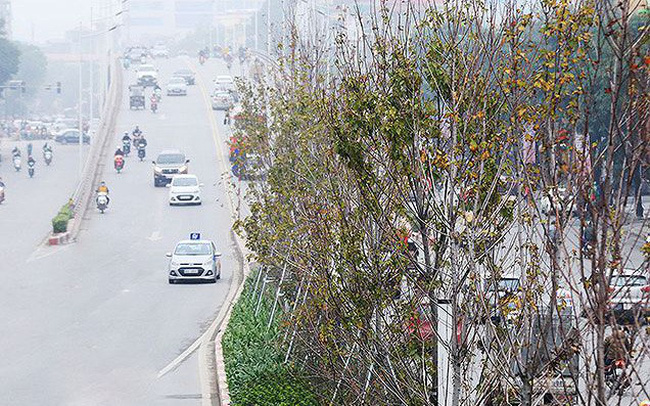 Cây phong trồng tại Hà Nội: Vì sao lá không đỏ?