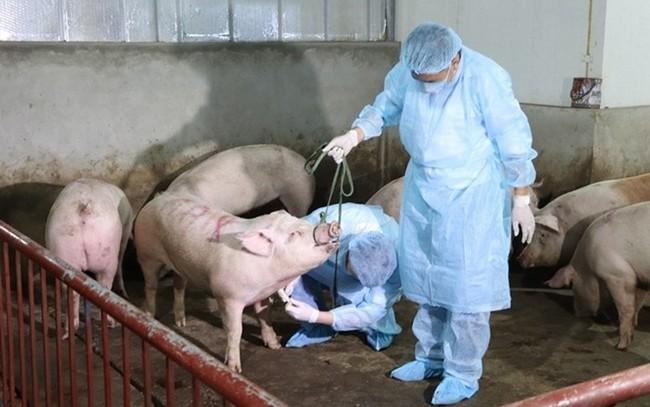 Hòa Bình là tỉnh đầu tiên công bố hết dịch tả lợn châu Phi