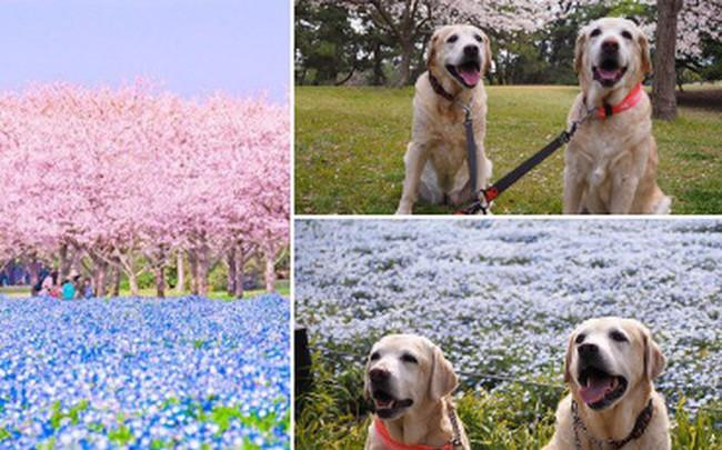 Thiên đường hoa gây sốt Nhật Bản: Hàng cây anh đào kết hợp rừng hoa mắt xanh đẹp như một giấc mơ