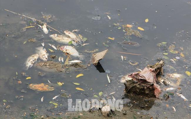 """Cá chết nổi trắng một đoạn sông Tô Lịch do """"va đập""""?"""