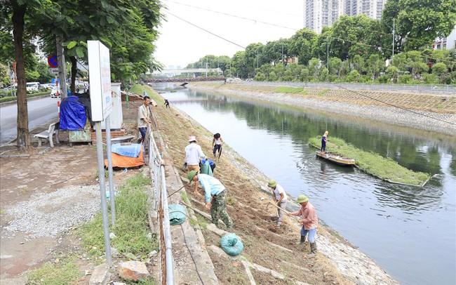 Hành trình phủ xanh cỏ lá tre trên kè sông Tô Lịch