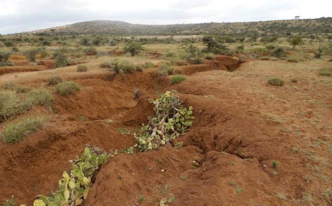 Xương rồng 'ác quỷ' - mối đe dọa mới của nông dân Kenya