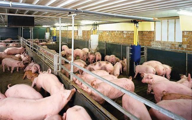 Giá thịt lợn hơi đắt kỷ lục, chạm mốc 70.000 đồng/kg