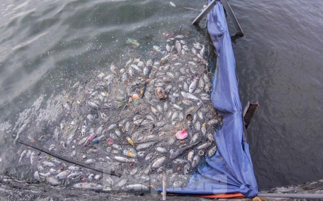 Xuất hiện nhiều cá chết ngoài khu thí điểm thả cá Koi ở Hồ Tây, sông Tô Lịch