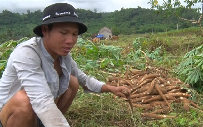 Nông dân gặp khó thu hoạch sắn ngã đổ sau mưa bão
