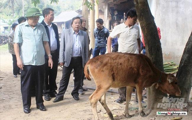 Quảng Trị: 6 xã của 1 huyện có đàn gia súc mắc lở mồm long móng
