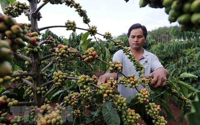 Giá càphê có xu hướng tăng, nông dân Lâm Đồng phấn khởi