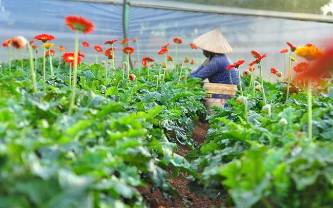 Nông dân Đà Lạt thu hàng trăm triệu từ vườn hoa đồng tiền