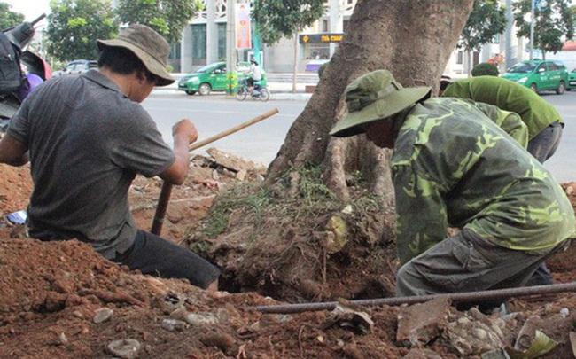 Vì sao hàng loạt cây xanh trên đường phố Đông Hà bị đốn hạ?