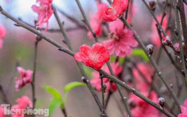 Đào bung nở sớm, người dân Nhật Tân thấp thỏm lo 'trắng tay'