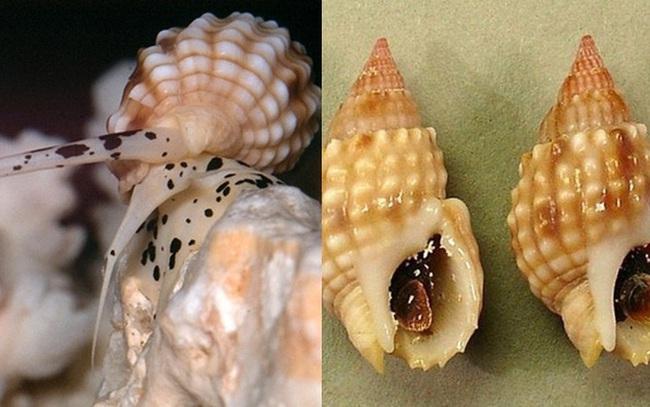 Cảnh báo tuyệt đối đừng ăn nhầm loại ốc này vì độc gấp nhiều lần thạch tín, chỉ ăn 0,5mg cũng đủ khiến bạn tử vong hoặc sống thực vật suốt đời