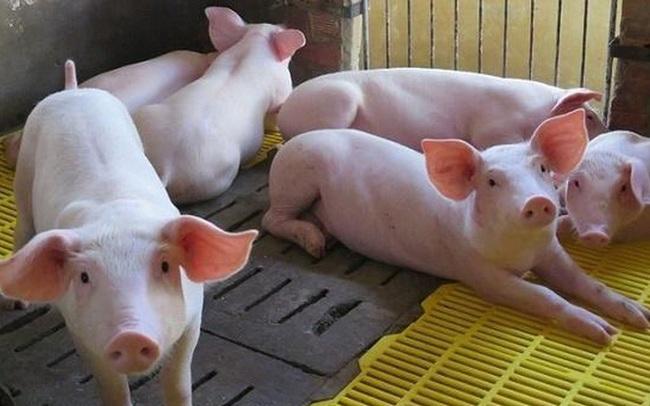 Thêm công ty nuôi lợn tại Đồng Nai lãi quý I đã vượt cả năm 2019  Thêm công ty nuôi lợn tại Đồng Nai lãi quý I đã vượt cả năm 2019 gic3a120heo1 15889130244672001756609 crop 15889130284051792581921