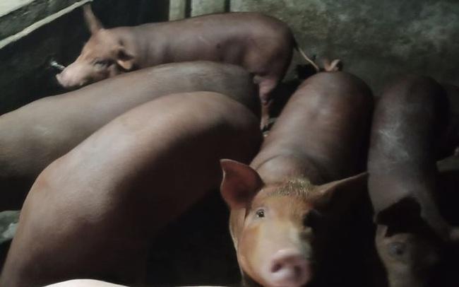Sau 2 tuần giảm, lợn hơi lại quay đầu tăng giá