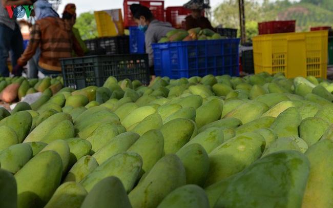 Sơn La xuất khẩu xoài ước đạt 2,24 triệu USD