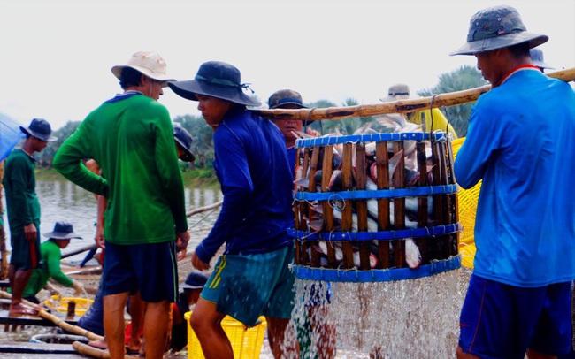 Lao đao ngành cá tra