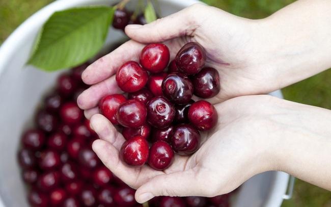 """Cảnh nông dân nước ngoài thu hoạch """"cơn mưa"""" cherry trên cây chỉ trong chớp mắt, sang đến Việt Nam được ăn 1 trái cũng khó"""