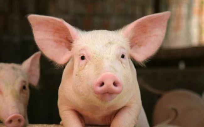Giá lợn sống được dự báo giảm tiếp trong những tuần tới