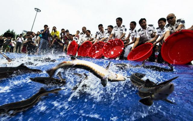 Vì sao sau khi xây xong đập Tam Hiệp, TQ phải thả vào 10.000 con cá?