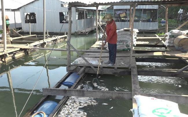 Dân đứng ngồi không yên, vội di dời bè do cá chết hàng loạt