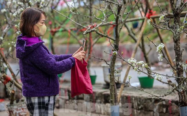Hoa lê rừng tiền triệu hút khách Thủ đô sau Tết