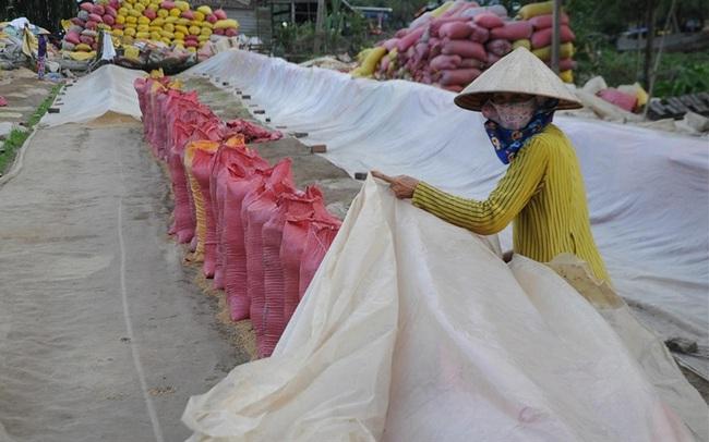Được phép xuất gạo, doanh nghiệp sẽ mua lúa giá cao