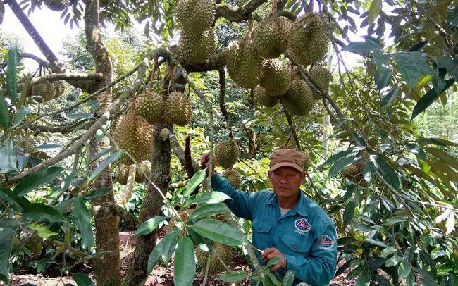 Đắk Lắk: Đa canh cây trồng trong vườn cà phê thích ứng với biến đổi khí hậu