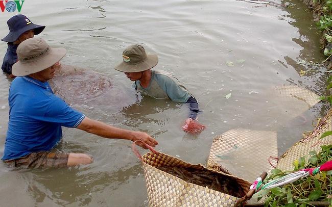 Nắng nóng kéo dài, gây thiệt hại hàng triệu con tôm giống