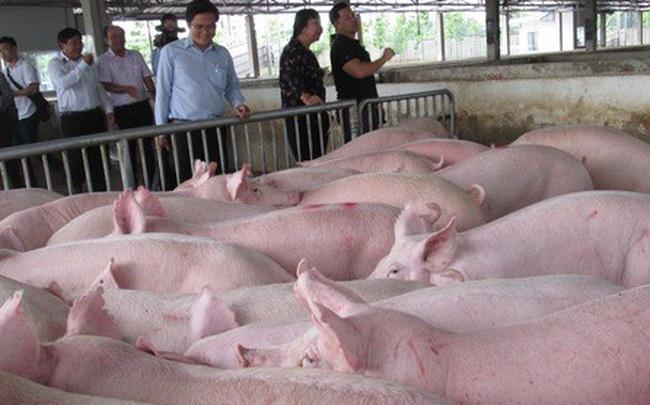 Một số công ty chăn nuôi phá cam kết giá heo hơi 70.000 đồng/kg