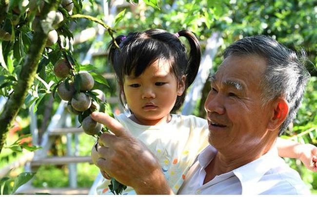 Mận Mộc Châu vào mùa, nông dân kiếm tiền triệu mỗi ngày