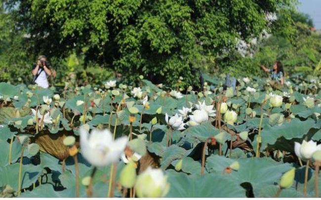 Đầm sen trắng hiếm có, giúp chủ đầm thu tiền triệu mỗi ngày ở Hà Nội